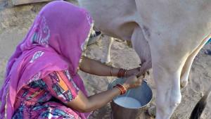 janie-milking-cow-edited